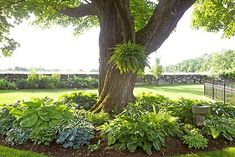 How and when should you divide your hostas? Divide every years in spring, summer or fall (although late summer is the best time). To divide, dig up your entire hosta and you will notice the individual plants. Look for the crowns and divide the clumps. Landscaping Around Trees, Front Yard Landscaping, Mulch Around Trees, Plants Under Trees, Landscaping Ideas, Shade Plants, Cool Plants, Hosta Plants, Perfect Plants
