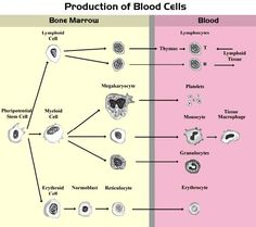 Blood+Composition | Immune Defense: Blood contains cells (White Blood Cells) and proteins ...