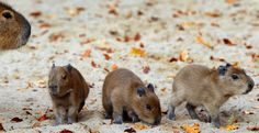 Three baby capybaras explore their enclosure on November 3, 2011 at the zoo in Schwerin, northeastern Germany. The animals were born at the zoo on November 1, 2011. Capybaras, relative to guinea pigs, are the largest living rodents in the world and are native to South America.    AFP PHOTO    JENS BUETTNER    GERMANY OUT (Photo credit should read JENS BUETTNER/AFP/Getty Images) via @AOL_Lifestyle Read more…