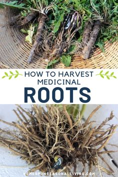 Fall is the perfect time to harvest medicinal roots like dandelion and valerian for use in the home herbal medicine cabinet. Cold Home Remedies, Natural Health Remedies, Herbal Remedies, Holistic Remedies, Healing Herbs, Medicinal Plants, Natural Healing, Holistic Healing, Natural Medicine