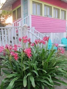pink beach lillies