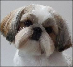 """""""CARLY"""" CH. Mr. Foo's Edelweiss It's All N The Cards-puppy cut hair style for dogs.:"""