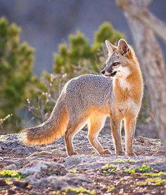Fox At Twilight