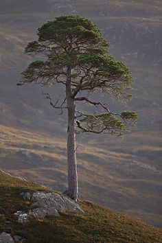 Lone Scots pine