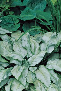 Plant sheen — 'Excalibur,' a silver-leafed lungwort (Pulmonaria) shines in the shade when paired with a solid green Hosta. © Karen Bussolini