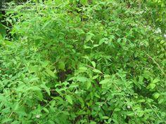 PlantFiles Pictures: Mexican Oregano, Puerto Rican Oregano (Lippia graveolens) by budgielover