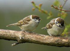 Tree Sparrow Fledgelings