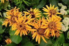 Ligularia dentata 'Desdemona' (Leopard Plant) Partial Sun Perennials, Flowers Perennials, Shade Perennials, Orange Sunflowers, Yellow Daisies, Orange Yellow, Leopard Plant, Bog Garden, Border Plants