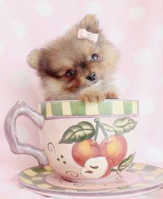 Adorable Teacup Pomeranian puppy by TeaCupsPuppies.com!