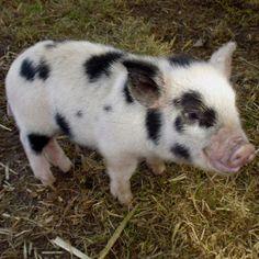 I want a teacup piggy for a pet