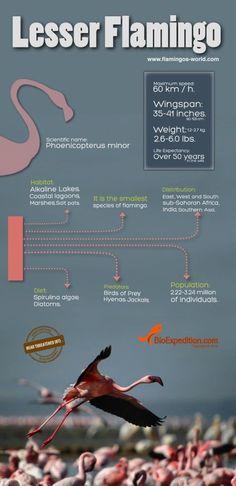 Lesser Flamingo Infographic - Flamingo Facts and Information Animal Facts, Cat Facts, Flamingo Facts, Flamingo Pictures, Oil City, Animals Information, Pink Bird, Animal Totems, Pink Flamingos