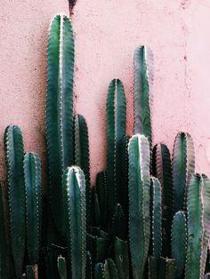 Tall saguaro cactus on blush pink wall