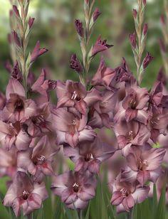 gladiolus 'dusk' - Google Search