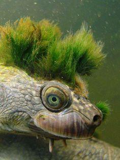 El curioso peinado de la tortuga del río María...  La tortuga del río María (Elusor macrurus), se sirve del musgo que crece sobre su cabeza para camuflarse de posibles predadores. Es una tortuga de cuello corto en peligro de extinción que habita el río María, al sudeste de Queensland, Australia, y llega a medir hasta 50cm de longitud. Las barbillas bajo su mandíbula le permiten buscar alimento en la arena del lecho del río.
