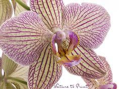 Zartgelbe Phalaenopsis mit feiner Zeichnung