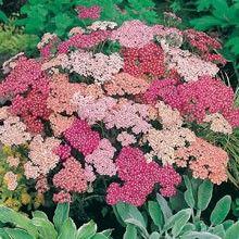 Röllika 'Summer Berries' Achillea millefoium, Fjärilsväxter, fjärilsträdgård, butterfly garden plant