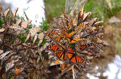 A cluster of monarch butterflies, shot from below. Over 25,000 are huddling together to conserve heat amongst themselves.  (Taken by: Michael Yang/Rex Features)