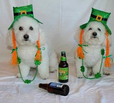 Bichons Rascal and Bandit celebrate St Patrick's Day