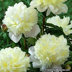 The fluffy, lemon-yellow center petals of this Peony emerge from a base of snow-white petals like lemon sherbet on a plate. A magnificent hybrid. (Paeonia lactiflora)