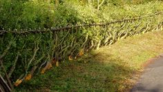 There are numerous different styles of laid hedge. See resources below. The style shown here lays the branches into the field or toward the livestock.