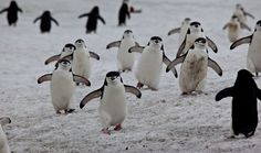 These Chinstrap penguins demonstrate what happens when mom calls: dinner's ready!