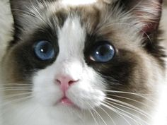 This is Destiny, our seal bicolor Ragdoll cat.