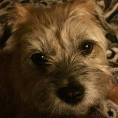 It's been a long day... Ready for bed I am! Night, night Border Terriers everywhere woof, woof! #BorderTerrier #BorderTerrierLove
