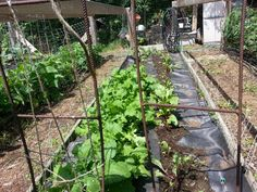 Beets and other root plants 6/28