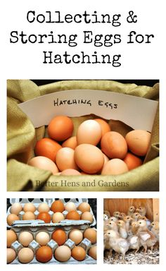 Collecting & Storing Eggs for Hatching - How to collect & store eggs that are intended for hatching to obtain the best hatching rate and healthiest chicks.