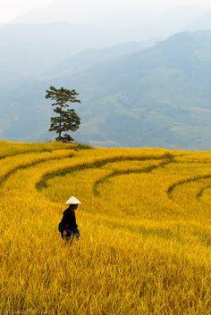 Yellow rice fields in Xín Mần. #Vietnam