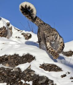 Snow Leopard                                                                                                                                                                                 More
