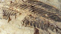 Crocodile fossils found in Australia.  http://www.foxnews.com/world/2013/07/16/australian-builders-unearth-city-fossil-trove/.   RocksInMyHead™ is the World's Greatest Rock, Prospecting & Outdoor Education Company.   For gold prospecting, rockhounding, lapidary and geology tools, and jewelry making supplies, equipment, books, maps, great outdoor gear, plus lots of great rocks, minerals, fossils, & meteorites, go to our website http://RocksInMyHead.com.