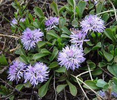 kulnik sercolistny (łac. Globularia cordifolia) kod: 1764 - Szkółka bylin Bergenia – Byliny, Kwiaty, Rośliny | Sadzonki