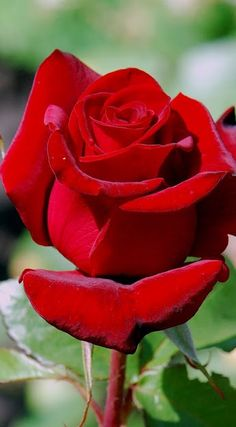 - Flowers Is My World ❤ - Flowers Pics Beautiful Rose Flowers, Pretty Roses, Romantic Roses, Amazing Flowers, Beautiful Gardens, Red Rose Flower, My Flower, Red Flowers, Flowers Pics