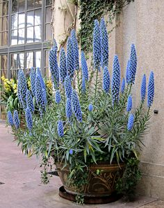 Pride of Madeira, Echium candicans, Select Blue, Longwood Gardens IMG_1499 Longwood Gardens, Kennett Square, PA USA Photograph by Dolores Kelley Roy and Dolores Kelley Photographs