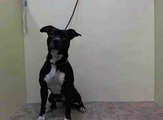 SAFE --- URGENT - Manhattan Center    ANDES - A0991010   MALE, BLACK / WHITE, PIT BULL MIX, 1 yr  STRAY - STRAY WAIT, NO HOLD Reason STRAY   Intake condition NONE Intake Date 02/04/2014, From NY 10452, DueOut Date 02/07/2014 https://www.facebook.com/Urgentdeathrowdogs/photos_stream