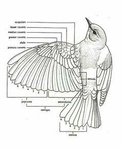 anatomy of a bird wing - bravegirlsclub.com