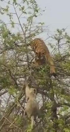 قرد يخدع نمراً جائعاً ويسقطه من فوق شجرة