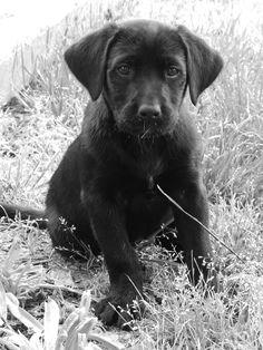 Gracie..black lab puppy...