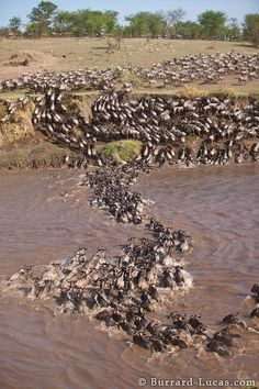 The great wildebeest migration of 2010.