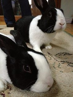 The Dutch rabbit breed is small, easygoing, hardy, and sports a distinctive look. All factors that add to the breed's enormous popularity. Rabbit Cages, House Rabbit, Pet Rabbit, Cute Baby Bunnies, Cute Baby Animals, Cutest Bunnies, Bunny Bunny, Farm Animals, Rabbit Information