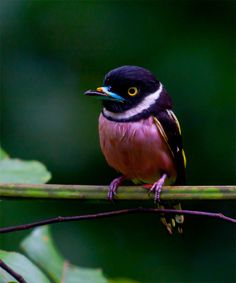 Black-and-yellow Broadbill: Found in Brunei, Indonesia, Malaysia, Myanmar, Singapore, and Thailand