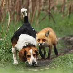 He's behind you! Meet the world's worst hunting dog. This beagle failed to spot the fox behind him. The dog had strayed too close to a den containing four fox cubs, but their protective parents stood their ground. Naturalist and photographer Mircea Costina captured the scene in a forest north of Montreal, Canada. - Picture: Mircea Costina / Rex Features