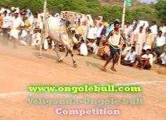 Ongole bull photo