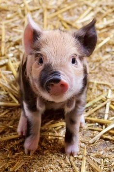 Cute Baby Piglet Farm Animals Barnyard Babies Postcard SOLD on Zazzle Cute Baby Animals, Funny Animals, Barnyard Animals, Jungle Animals, Baby Piglets, Teacup Pigs, Mini Pigs, Cute Pigs, Funny Pigs