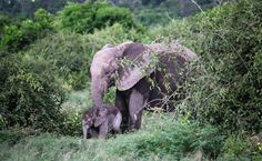 Gabon's Forest Elephants Are Being Slaughtered, Even In Areas Once Thought Safe   Care2 Causes