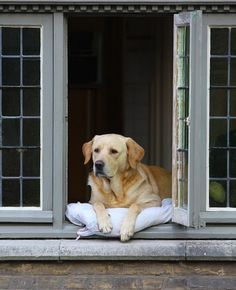 Fidel, the most photographed dog of Bruges, Belgium. He is constantly looking out his window and usually has a pillow handy in case he needs a little nap.