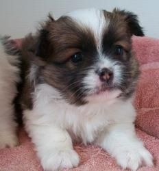 Japanese Chin/Pomeranian Mix. He is to cute