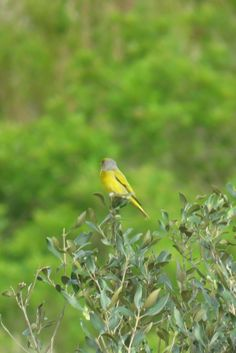 Cape Canary, Tygerberg Res, Cape Town, SA, oct 1, 2016.IMG_1452