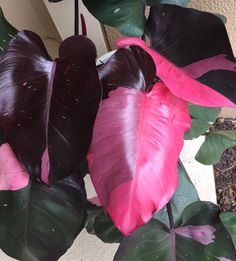 Philodendron 100 seeds – Pink Princess Seeds – Perennial Potted Plant Indoor Air Purification - All For Herbs And Plants Green Plants, Tropical Plants, Cactus Plants, House Plants Decor, Plant Decor, All About Plants, Variegated Plants, Pink Plant, Foliage Plants